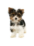 Biewer terrier puppy isolated Stock Photos