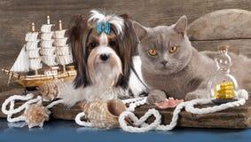 Biewer Terrier und britische Katze Stockfoto