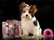 Biewer york dog Royalty Free Stock Photography
