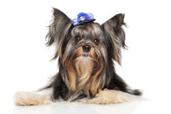 Biewer york för Yorkshire terrier royaltyfri fotografi