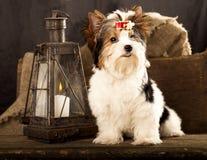 Biewer york puppy Stock Image