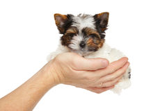 Biewer York puppy in hand Stock Photos