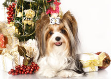 Biewer Yorkshire terrier Royaltyfri Fotografi