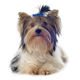 Biewer yorkshire terrier Stock Images