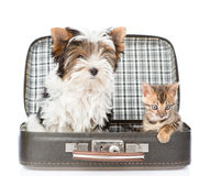 Biewer-Yorkshire terrier and bengal cat sitting in a bag. isolated Stock Photos