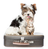 Biewer-Yorkshire terrier and bengal cat sitting on a bag. isolated Royalty Free Stock Photo