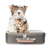 Biewer-Yorkshire terrier and bengal cat sitting on a suitcase.  isolated on white Royalty Free Stock Photography