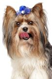 Biewer Yorkshire terrier. Close-up portrait on white background Royalty Free Stock Photos