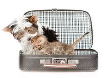 Biewer-Yorkshire terrier dog kissing bengal cat in open bag. isolated on white Stock Image
