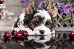 Biewer Yorkshire Terrier et rouge de cerises Images stock