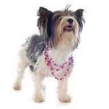 Biewer yorkshire terrier Stock Photos