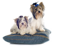 Biewer yorkshire terrier Royalty Free Stock Images