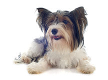 Biewer yorkshire terrier Royalty Free Stock Photography