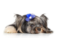 Biewer Yorkshire terrier in front of white background Stock Images
