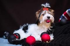 Biewer Yorkshire Terrier i boże narodzenie dekoracje obraz stock
