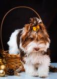 Biewer Yorkshire Terrier i boże narodzenie dekoracje fotografia stock