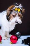 Biewer Yorkshire Terrier i boże narodzenie dekoracje zdjęcia stock
