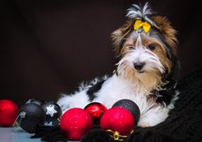 Biewer Yorkshire Terrier i boże narodzenie dekoracje obrazy stock