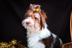 Biewer Yorkshire Terrier i boże narodzenie dekoracje zdjęcie royalty free