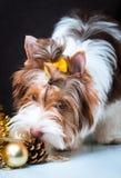 Biewer Yorkshire Terrier i boże narodzenie dekoracje zdjęcie stock
