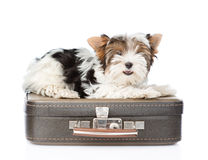 Biewer-Yorkshire terrier lying on a bag. isolated on white Royalty Free Stock Photo