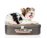 Biewer-Yorkshire terrier lying on a bag. isolated on white Stock Images