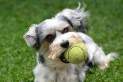 Biewer Yorkshire Terrier mit einem Tennisball Stockfotografie
