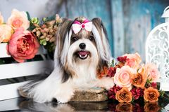 Biewer Yorkshire Terrier och blommabuketter fotografering för bildbyråer