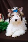 Biewer Yorkshire Terrier och julpynt Royaltyfri Bild