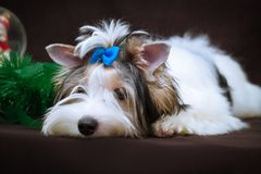 Biewer Yorkshire Terrier och julpynt Arkivfoto
