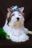 Biewer Yorkshire Terrier och julpynt Arkivbilder