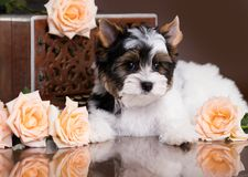 Biewer Yorkshire Terrier och rosor arkivbild
