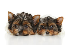 Biewer Yorkshire Terrier puppies Stock Images