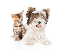 Biewer-Yorkshire terrier puppy and bengal kitten lying in fron. isolated on white.  stock photography