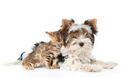 Biewer-Yorkshire terrier puppy and bengal kitten lying together. isolated on white Royalty Free Stock Images