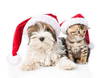 Biewer-Yorkshire terrier puppy and bengal kitten with red santa hat. isolated on white Royalty Free Stock Photo