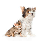 Biewer-Yorkshire terrier puppy and bengal kitten sitting together. isolated Stock Photos
