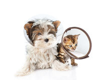 Biewer-Yorkshire terrier puppy and bengal kitten wearing a funnel. isolated on white Stock Photo