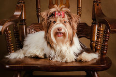Biewer yorkshire terrier puppy on a chair Stock Photography