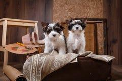 Biewer Yorkshire terrier Puppy Stock Photo