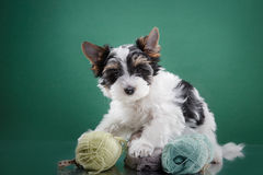 Biewer Yorkshire terrier Puppy Royalty Free Stock Images
