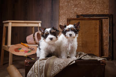 Biewer Yorkshire terrier Puppy Stock Images