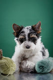 Biewer Yorkshire terrier Puppy Royalty Free Stock Photography