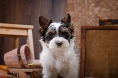 Biewer Yorkshire terrier Puppy Stock Photos