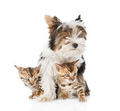 Biewer-Yorkshire terrier puppy and two bengal kittens. isolated Stock Photo
