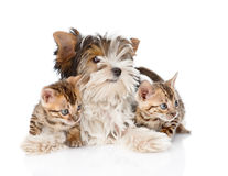 Biewer-Yorkshire terrier puppy and two bengal kittens. isolated Royalty Free Stock Images