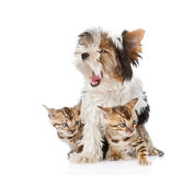 Biewer-Yorkshire terrier puppy and two bengal kittens. isolated Royalty Free Stock Image