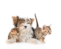 Biewer-Yorkshire terrier puppy and two bengal kittens. isolated Royalty Free Stock Photography