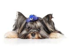 Biewer Yorkshire terrier Royalty Free Stock Photo