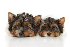 Biewer Yorkshire Terrier valpar Arkivbilder